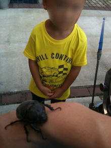 息子様とカブトムシ
