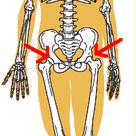 股関節の記事より
