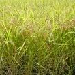 新米 収穫スタート