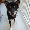 2010年9月18日生れの黒柴犬の陸の画像
