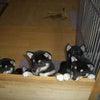 8月4日生れの黒柴犬集合!の画像