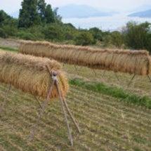稲刈り 2011