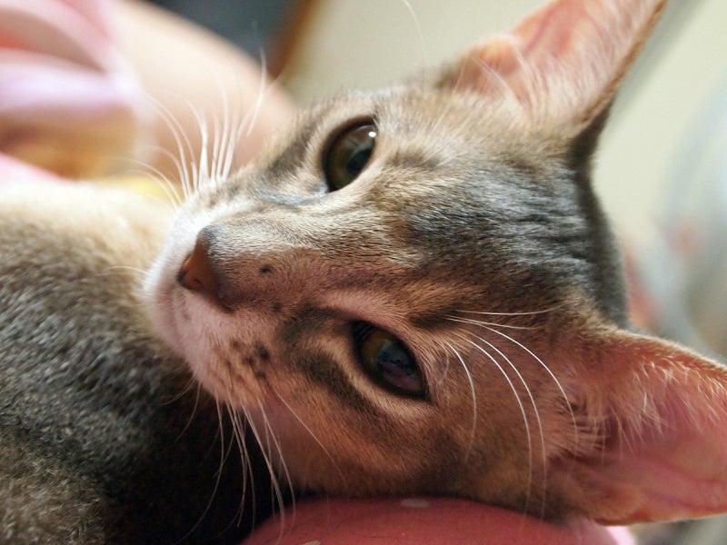 アビシニアン  猫 ブルー