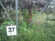 松尾農園便り ~八女の百姓が地球を救う~-2011092715180000.jpg
