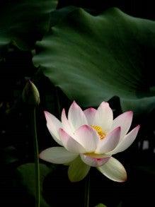 $good day yoga-lotus2