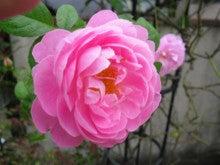 Maman's Garden  ~お花と私と柴犬と~