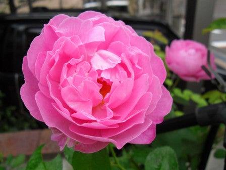 $Maman's Garden  ~お花と私と柴犬と~
