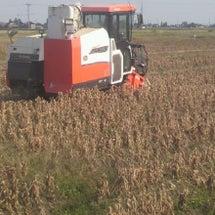 大豆の刈取り