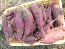 愛媛より、まほろば農園のブログ-CA3I01840001.jpg