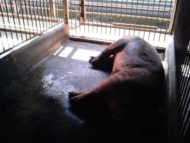 「香り豚」松村牧場へようこそ-SH3F12510001.jpg