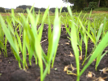はる農園~ひととせ便り~-小麦