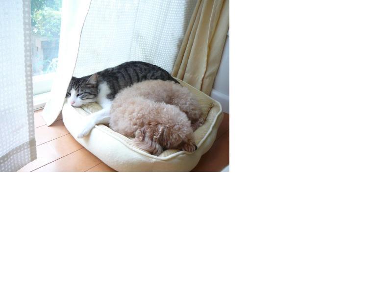 トイプードルとサバトラ猫のいるおウチ