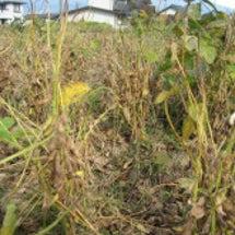 大豆の収穫時期です