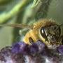 ハチの大量死は、農薬…