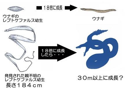 川崎悟司 オフィシャルブログ 古世界の住人 Powered by Ameba-巨大レプトケファルスが成長したら