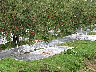 晴れのち曇り時々Ameブロ-りんご園
