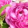 秋のバラ展 トルコブ…