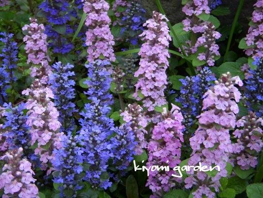 キヨミのガーデニングブログ 長澤淨美のアメブロオフィシャルブログPowered by Ameba-アジュガの画像