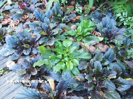 キヨミのガーデニングブログ 長澤淨美のアメブロオフィシャルブログPowered by Ameba-アジュガの小道の画像