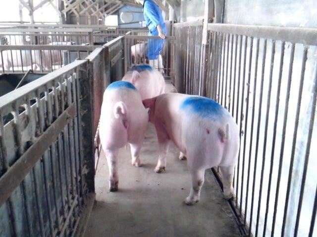 「香り豚」松村牧場へようこそ-SH3F13240001.jpg