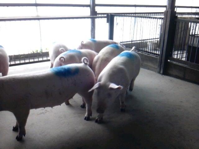 「香り豚」松村牧場へようこそ-SH3F13250001.jpg
