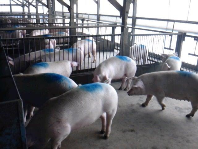 「香り豚」松村牧場へようこそ-SH3F13320001.jpg