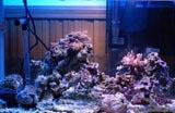海を泳ぎたかった青コリ-サンゴ水槽