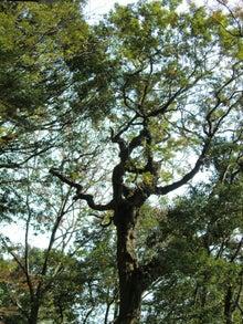 $松尾祐孝の音楽塾&作曲塾~音楽家・作曲家を夢見る貴方へ~-高尾山の樹木の見事な枝振り