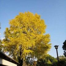 熊本城のイチョウは見…
