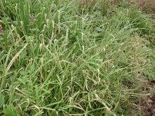 耕作放棄地をショベル1本で畑に開拓!週2日で10時間の野菜栽培の記録 byウッチー-111128たまねぎ白色疫病の原因調査02