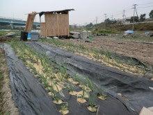 耕作放棄地をショベル1本で畑に開拓!週2日で10時間の野菜栽培の記録 byウッチー-111128たまねぎ白色疫病克服対策実験01