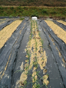 耕作放棄地をショベル1本で畑に開拓!週2日で10時間の野菜栽培の記録 byウッチー-111128白色疫病対策15-東#6チャージ試行前