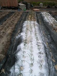 耕作放棄地をショベル1本で畑に開拓!週2日で10時間の野菜栽培の記録 byウッチー-111128白色疫病対策14-西#6チャージ試行後