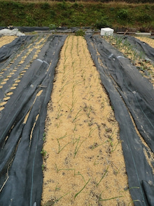 耕作放棄地をショベル1本で畑に開拓!週2日で10時間の野菜栽培の記録 byウッチー-111128白色疫病対策17-東#7ネオアース試行前