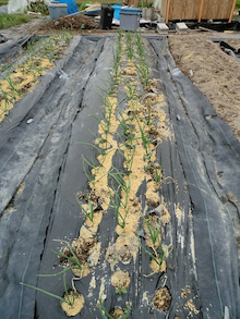 耕作放棄地をショベル1本で畑に開拓!週2日で10時間の野菜栽培の記録 byウッチー-111128白色疫病対策09-西#2マッハ試行前
