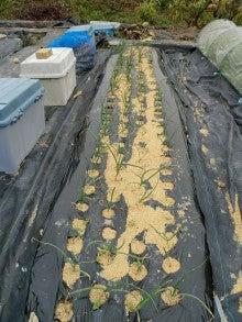耕作放棄地をショベル1本で畑に開拓!週2日で10時間の野菜栽培の記録 byウッチー-111128白色疫病対策06-#53チャージ試行前