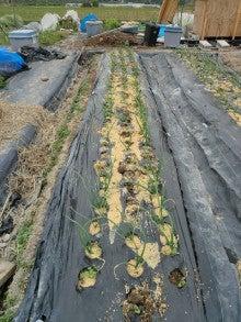 耕作放棄地をショベル1本で畑に開拓!週2日で10時間の野菜栽培の記録 byウッチー-111128白色疫病対策07-西#1マッハ試行前