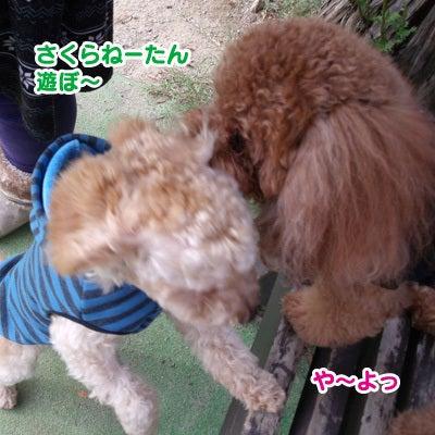 トイプードル☆虎徹(こてつ) 『名前負けでスミマセン。』