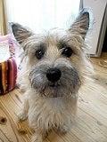 所沢の犬専門ペットシッタートコトコ -あられプロフィール