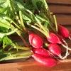 ラディッシュ収穫の画像