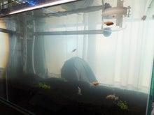 $ヒバリの金魚と共に歩む旅-水槽に金魚を入れました2