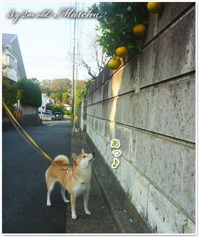 あたち柴犬 抹茶だヨ!  - 伊賀忍者柴犬の道 --111217_p02丸いものが実る季節
