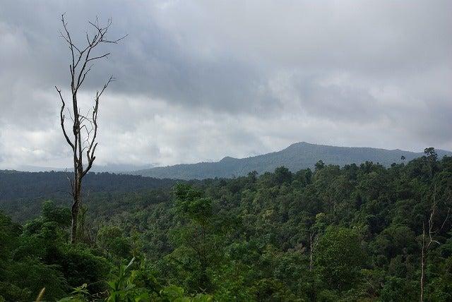 カンボジアの森を歩く31 松林とウツボカズラの森 キリロン