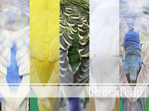ようこそ!とりみカフェ!!~鳥カフェでの出来事や鳥写真~-セキセイインコ壁紙プレゼント!