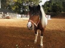 馬を愛する男のブログ Ebosikogen Horse Park-チェリー