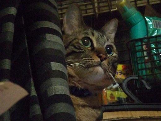ネコに真珠・豚にゴハン-キリッ2