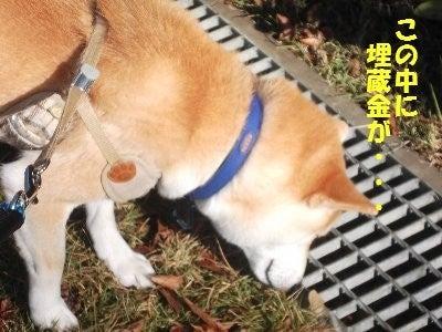柴犬福太郎のふくふく日和