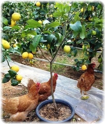 果樹 鉢植え