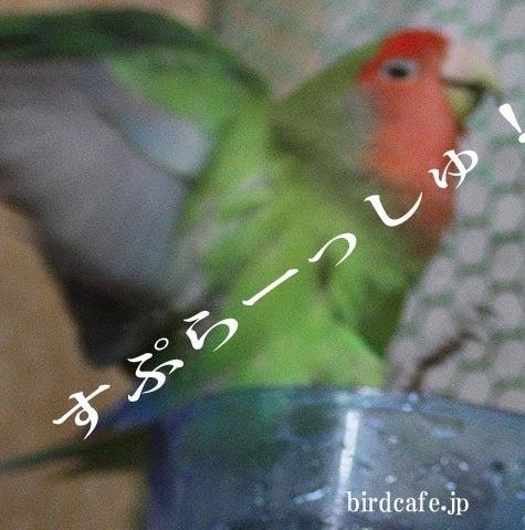 ようこそ!とりみカフェ!!~鳥カフェでの出来事や鳥写真~-飛び出るコザクラインコ!