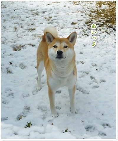 あたち柴犬 抹茶だヨ!  - 伊賀忍者柴犬の道 --120201_p4雪食い合戦